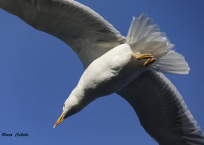Gavina en vuelo